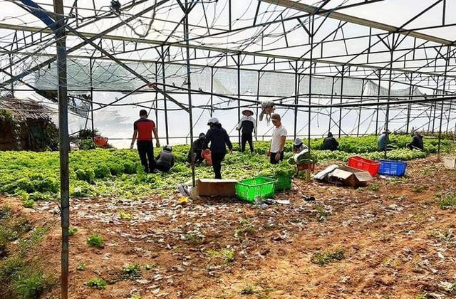 Nhiều nông dân ở Đà Lạt ngậm ngùi đổ bỏ rau do đứt chuỗi liên kết  - Ảnh 2.