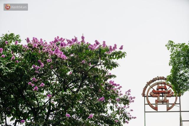 Ảnh, clip: Hoa bằng lăng nhuộm tím phố phường Hà Nội tháng 5 - Ảnh 2.