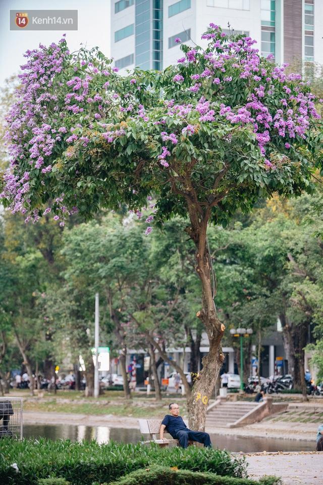 Ảnh, clip: Hoa bằng lăng nhuộm tím phố phường Hà Nội tháng 5 - Ảnh 7.