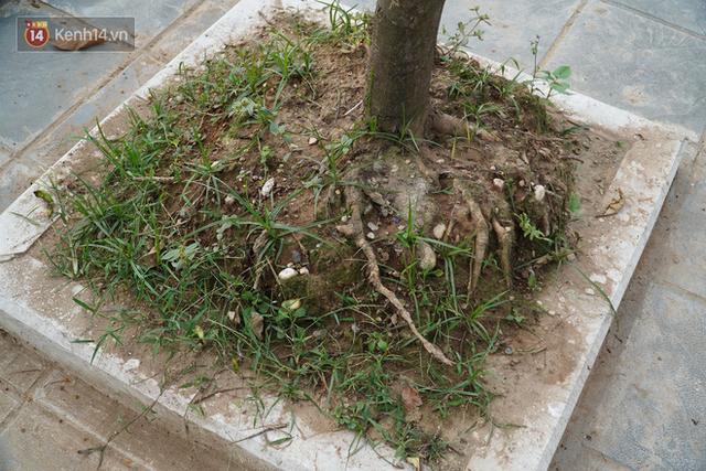 Ảnh: Cận cảnh hàng loạt cây xanh mục gốc, ngả hướng ra giữa đường ở Hà Nội - Ảnh 12.
