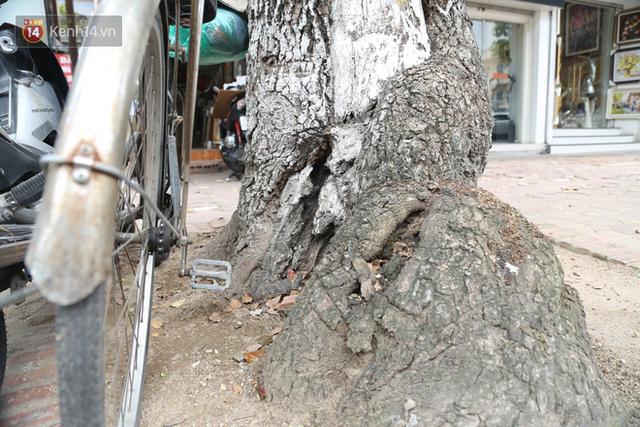 Ảnh: Cận cảnh hàng loạt cây xanh mục gốc, ngả hướng ra giữa đường ở Hà Nội - Ảnh 16.