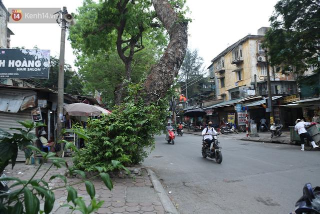 Ảnh: Cận cảnh hàng loạt cây xanh mục gốc, ngả hướng ra giữa đường ở Hà Nội - Ảnh 5.