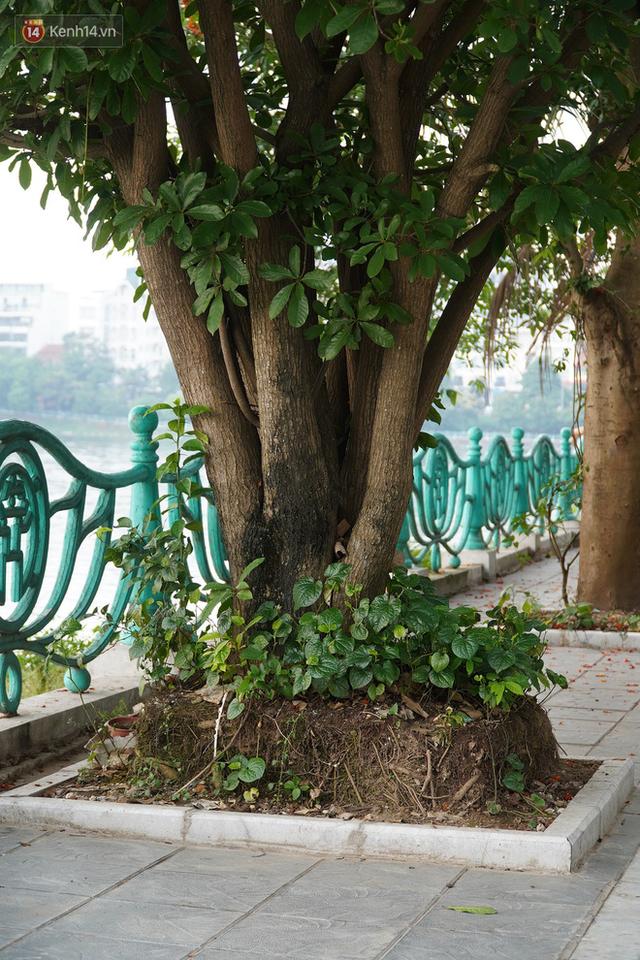 Ảnh: Cận cảnh hàng loạt cây xanh mục gốc, ngả hướng ra giữa đường ở Hà Nội - Ảnh 10.
