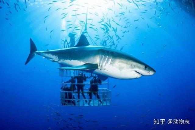 Tại sao cá voi vung đuôi lên xuống, nhưng cá mập lại vung đuôi sang hai bên? - Ảnh 1.