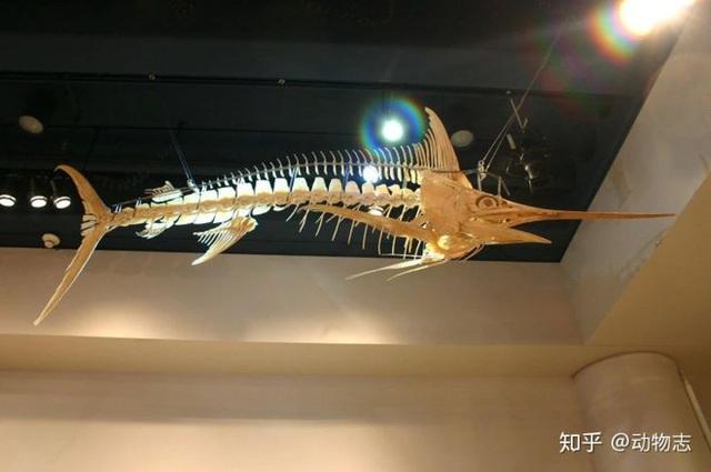 Tại sao cá voi vung đuôi lên xuống, nhưng cá mập lại vung đuôi sang hai bên? - Ảnh 4.