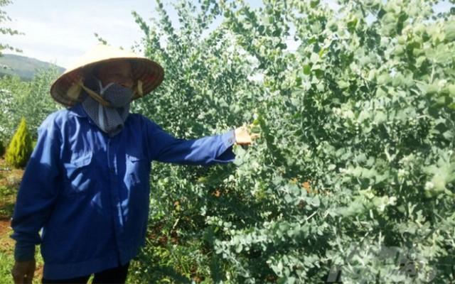 Nông dân Đà Lạt hốt bạc nhờ trồng cây đô la - Ảnh 1.