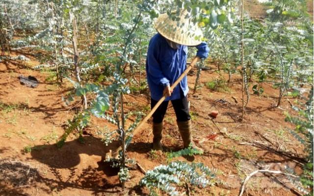 Nông dân Đà Lạt hốt bạc nhờ trồng cây đô la - Ảnh 2.