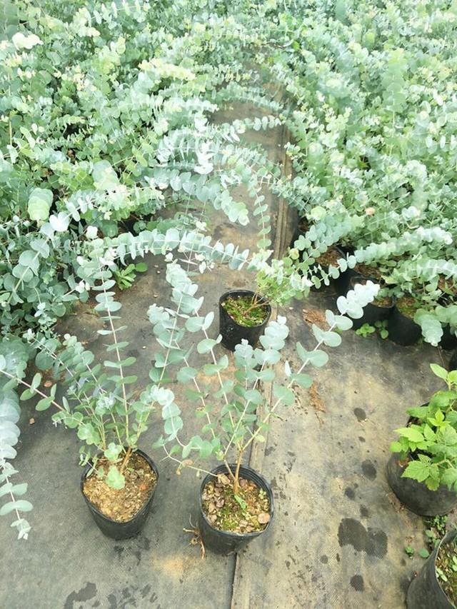 Nông dân Đà Lạt hốt bạc nhờ trồng cây đô la - Ảnh 7.