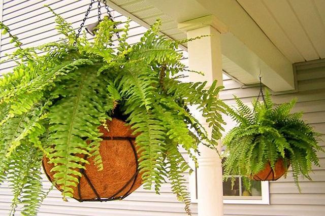15 loại cây cảnh không chỉ tốt trong phong thủy mà còn có tác dụng lọc sạch không khí, nhà nào cũng nên có 1 cây - Ảnh 8.