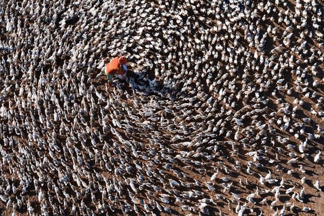 Hay là mình về quê chăn vịt - bộ ảnh chụp từ trên không đàn vịt vài nghìn con của chàng nhiếp ảnh trẻ gây ấn tượng mạnh - Ảnh 2.