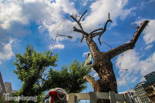 Nhiều cây sưa tiền tỷ trên đường phố Hà Nội dần chết khô trong bọc sắt - Ảnh 1.