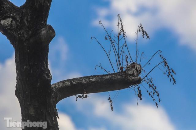Nhiều cây sưa tiền tỷ trên đường phố Hà Nội dần chết khô trong bọc sắt - Ảnh 2.