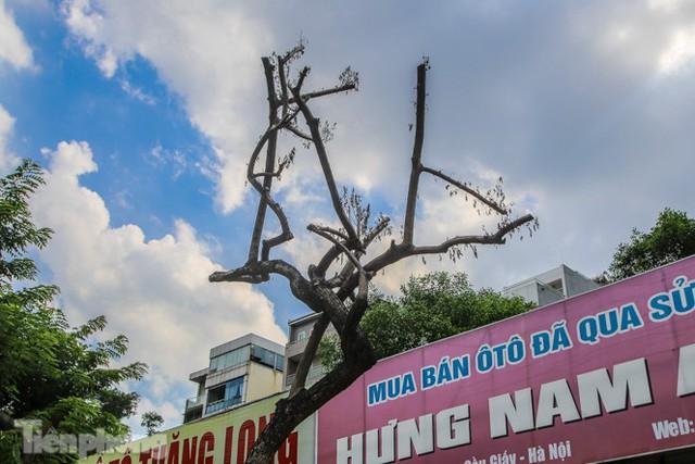 Nhiều cây sưa tiền tỷ trên đường phố Hà Nội dần chết khô trong bọc sắt - Ảnh 4.