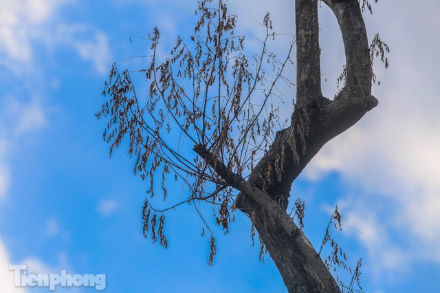 Nhiều cây sưa tiền tỷ trên đường phố Hà Nội dần chết khô trong bọc sắt - Ảnh 9.