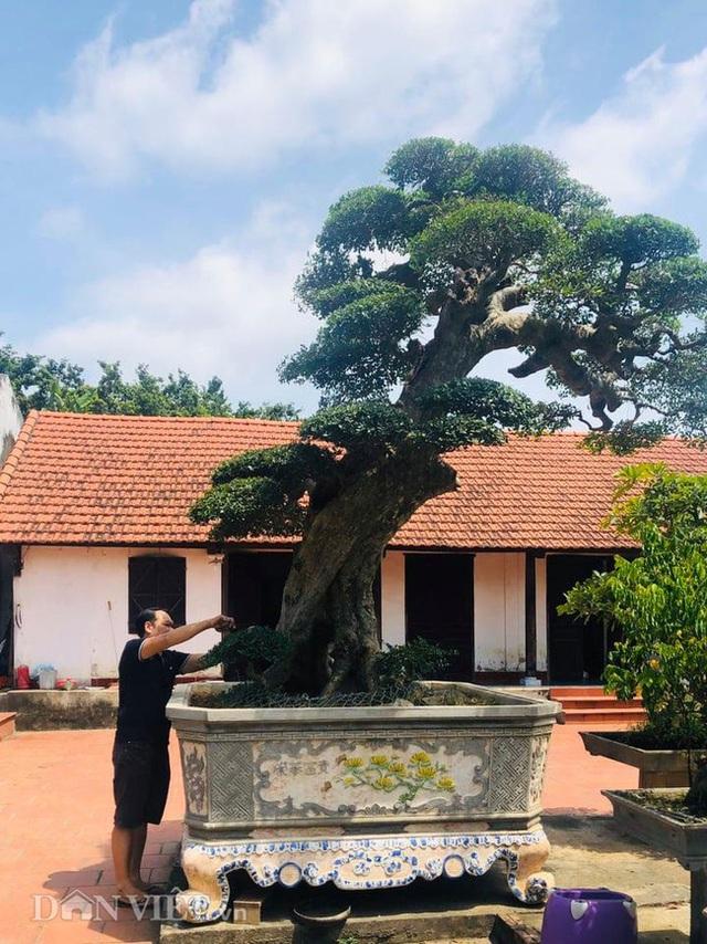 Phú Thọ: Ông thợ mộc mua cây duối cổ 400 tuổi giá 2 triệu, giờ khách trả 3 tỷ không bán - Ảnh 1.