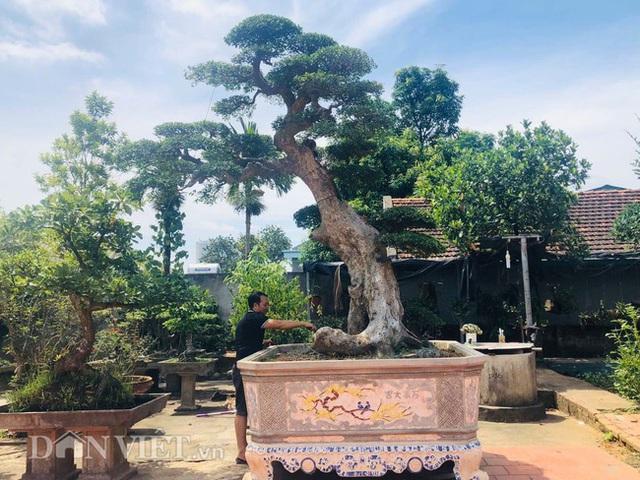 Phú Thọ: Ông thợ mộc mua cây duối cổ 400 tuổi giá 2 triệu, giờ khách trả 3 tỷ không bán - Ảnh 2.