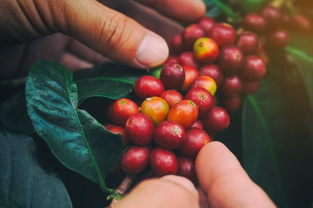 Hành trình của hạt cà phê từ vườn trồng đến tách cà phê thơm lừng mỗi sáng - Ảnh 2.