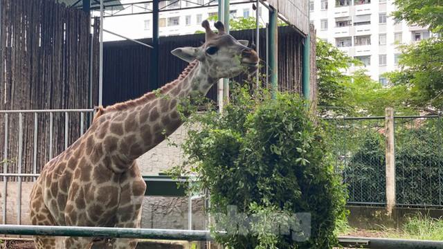 Người dân TPHCM góp hàng tấn rau củ quả cứu đói bầy thú Thảo Cầm Viên mùa dịch COVID-19 - Ảnh 22.