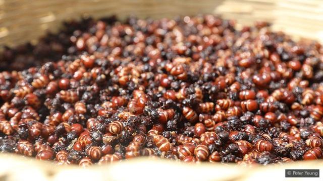 Quốc gia sở hữu nghề cực lãi: Săn kiến và đem bán với giá 2 triệu/kg - Ảnh 2.