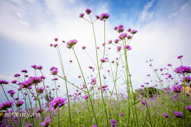 Giới trẻ chết mê chết mệt với cánh đồng oải hương thảo giữa lòng Hà Nội, rộng ngút tầm mắt tha hồ check-in chẳng phải đi đâu xa - Ảnh 2.