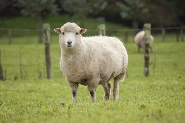 Với giá bán lên tới gần 11,4 tỷ đồng, con cừu đắt hơn cả siêu xe Ferrari này có gì đặc biệt? - Ảnh 2.