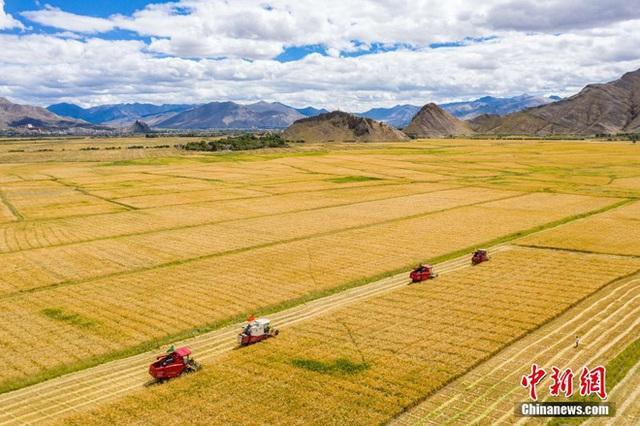 Những hình ảnh tuyệt đẹp của vựa lúa Tây Tạng trong mùa thu hoạch - Ảnh 1.