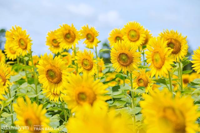 Mới tháng 9, cánh đồng hoa hướng dương và đầm sen ngay trong Sài Gòn đã nở cực rộ đẹp như Tết, tốn có 40.000 đồng được ngắm cả ngày trời! - Ảnh 12.
