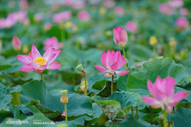 Mới tháng 9, cánh đồng hoa hướng dương và đầm sen ngay trong Sài Gòn đã nở cực rộ đẹp như Tết, tốn có 40.000 đồng được ngắm cả ngày trời! - Ảnh 3.