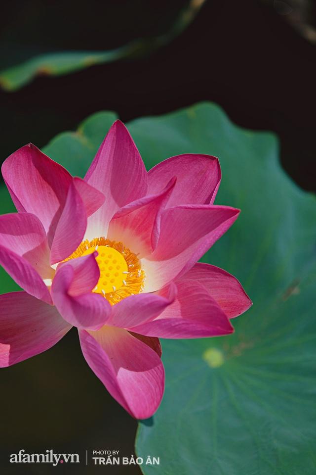 Mới tháng 9, cánh đồng hoa hướng dương và đầm sen ngay trong Sài Gòn đã nở cực rộ đẹp như Tết, tốn có 40.000 đồng được ngắm cả ngày trời! - Ảnh 4.