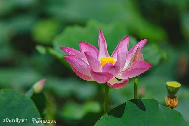 Mới tháng 9, cánh đồng hoa hướng dương và đầm sen ngay trong Sài Gòn đã nở cực rộ đẹp như Tết, tốn có 40.000 đồng được ngắm cả ngày trời! - Ảnh 5.