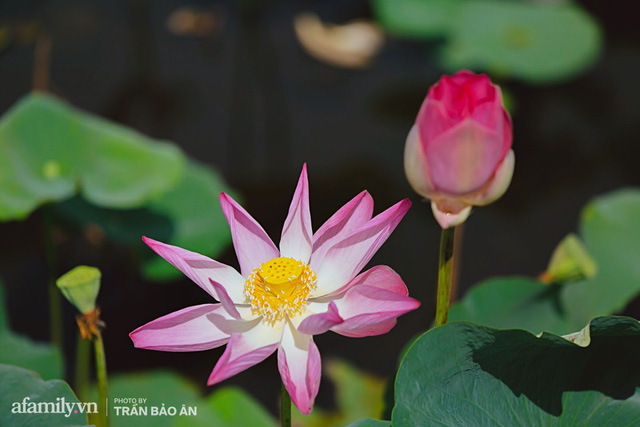 Mới tháng 9, cánh đồng hoa hướng dương và đầm sen ngay trong Sài Gòn đã nở cực rộ đẹp như Tết, tốn có 40.000 đồng được ngắm cả ngày trời! - Ảnh 6.