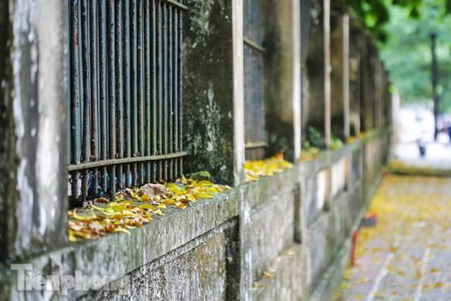 Lá phủ vàng con phố trong tiết trời chuyển sang thu ở Hà Nội - Ảnh 8.