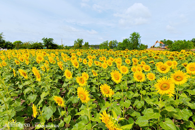 Mới tháng 9, cánh đồng hoa hướng dương và đầm sen ngay trong Sài Gòn đã nở cực rộ đẹp như Tết, tốn có 40.000 đồng được ngắm cả ngày trời! - Ảnh 9.