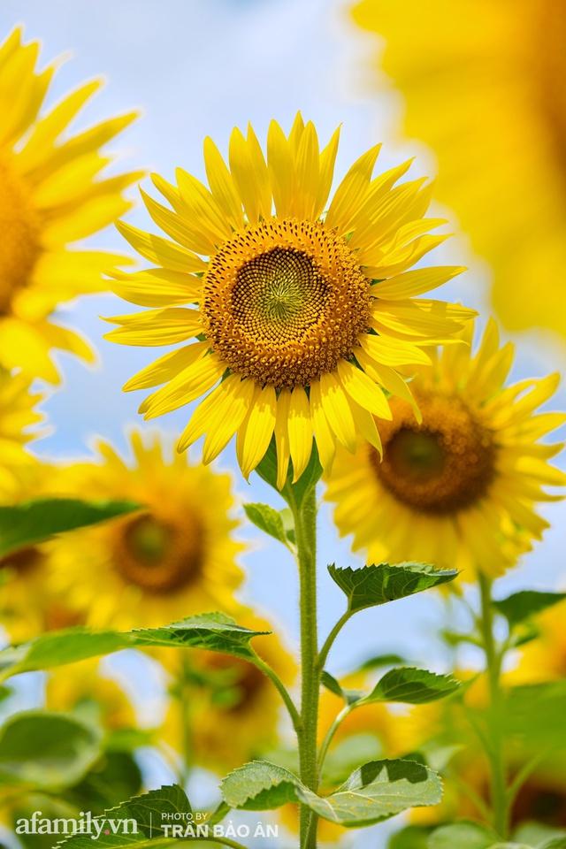 Mới tháng 9, cánh đồng hoa hướng dương và đầm sen ngay trong Sài Gòn đã nở cực rộ đẹp như Tết, tốn có 40.000 đồng được ngắm cả ngày trời! - Ảnh 10.