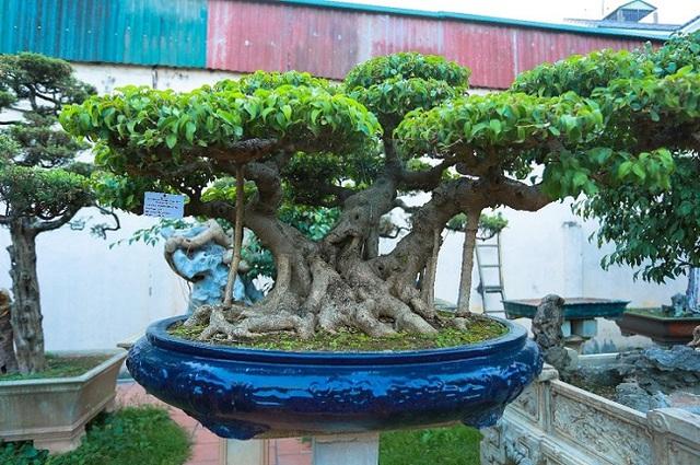 Cận cảnh khu vườn tiền tỷ của tay chơi cây cảnh nức tiếng Hà thành - Ảnh 7.