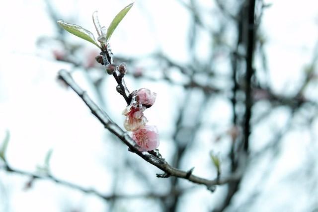 Những khoảnh khắc băng tuyết phủ trắng Y Tý - Sapa, hoa đào nở đóng băng đẹp như cổ tích là dịp vô cùng hiếm hoi để du lịch vào thời điểm này! - Ảnh 11.