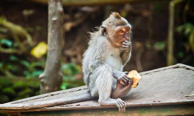 Nhờ khách du lịch, loài khỉ Bali tiến hóa chỉ thích cướp đồ đắt tiền - Ảnh 1.