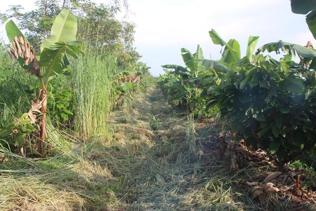 Tiến sĩ về làm nông dân: Hồi sinh đồi đá trơ trọi nhờ cỏ dại, trồng cacao không hoá chất tạo dòng socola đắt nhất Việt Nam - Ảnh 5.