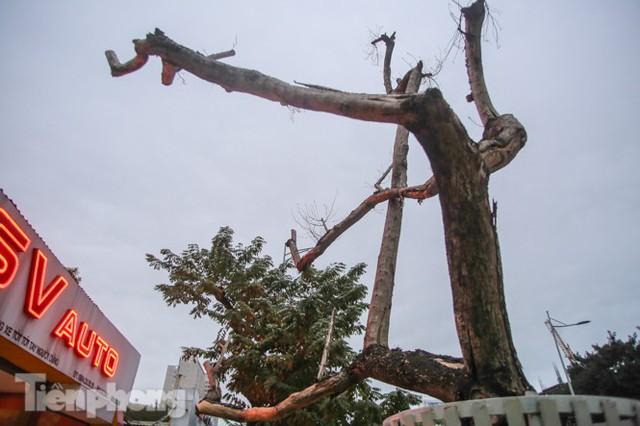 Hàng cây sưa trăm tỷ chết khô trên phố Hà Nội sẽ xử lý thế nào? - Ảnh 4.