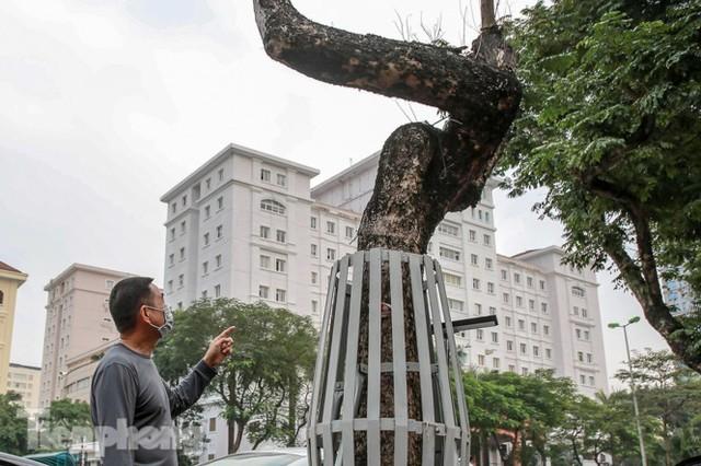 Hàng cây sưa trăm tỷ chết khô trên phố Hà Nội sẽ xử lý thế nào? - Ảnh 5.