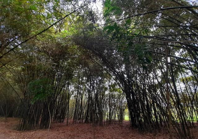 Khám phá vườn tre độc nhất vô nhị ở miền Tây - Ảnh 2.