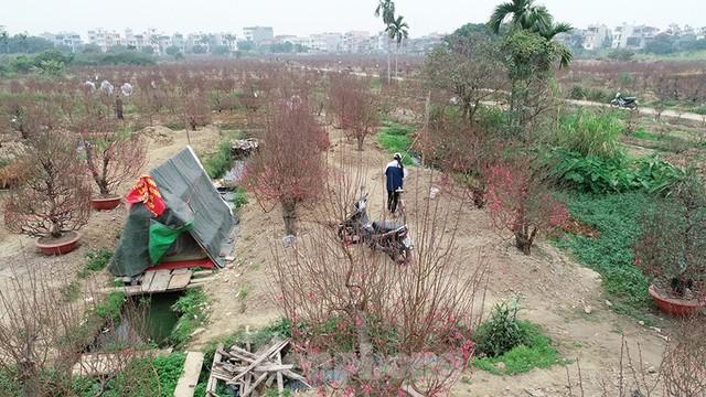 Nông dân trồng đào Hải Dương điêu đứng vì nguy cơ lỗ nặng - Ảnh 2.