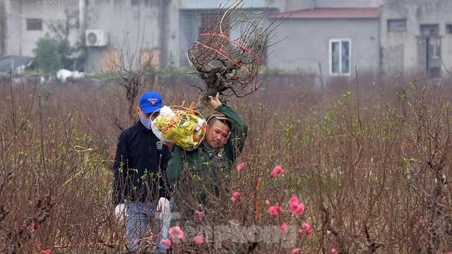 Nông dân trồng đào Hải Dương điêu đứng vì nguy cơ lỗ nặng - Ảnh 4.