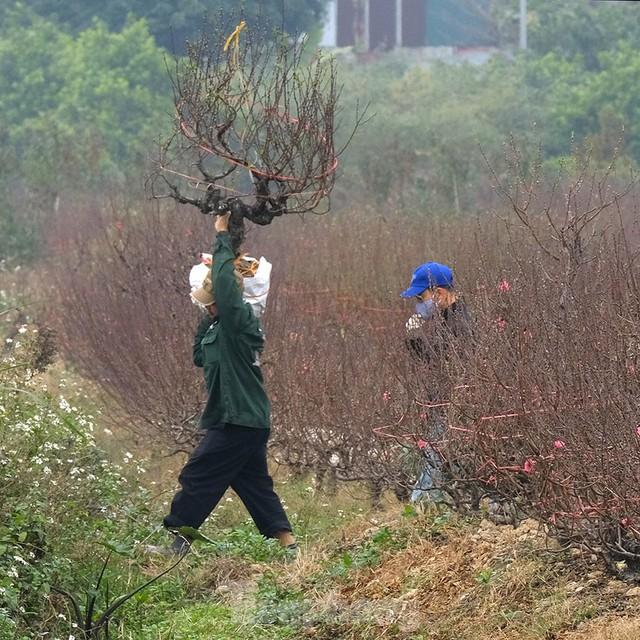 Nông dân trồng đào Hải Dương điêu đứng vì nguy cơ lỗ nặng - Ảnh 6.