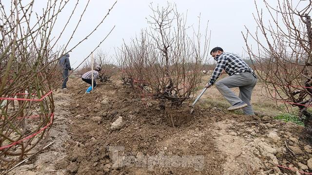 Nông dân trồng đào Hải Dương điêu đứng vì nguy cơ lỗ nặng - Ảnh 9.