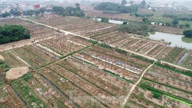Nông dân trồng đào Hải Dương điêu đứng vì nguy cơ lỗ nặng - Ảnh 12.