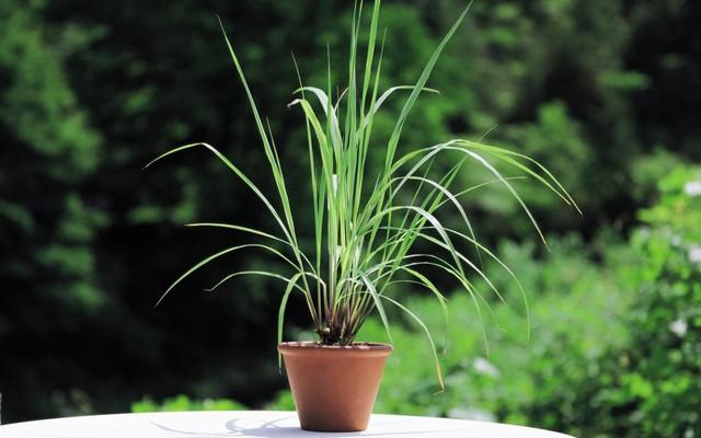 8 loài cây trồng trong nhà vừa đẹp vừa thơm, giúp đuổi muỗi hiệu quả mà không cần hóa chất - Ảnh 15.