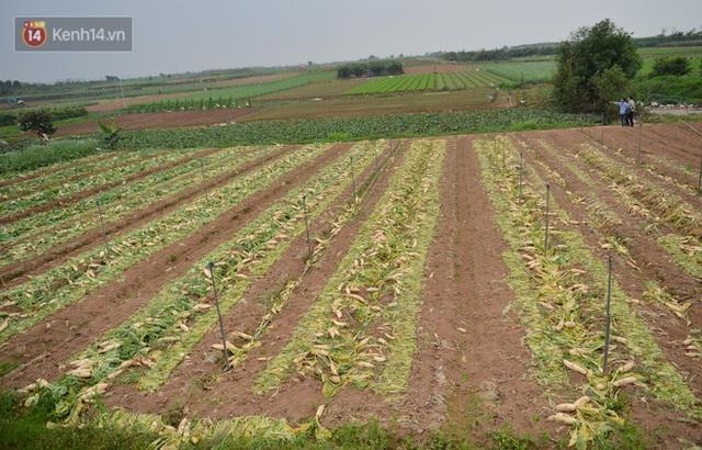 Ảnh: Nông dân Mê Linh nuốt nước mắt, nhổ bỏ hàng trăm tấn củ cải vì không tiêu thụ được - Ảnh 2.