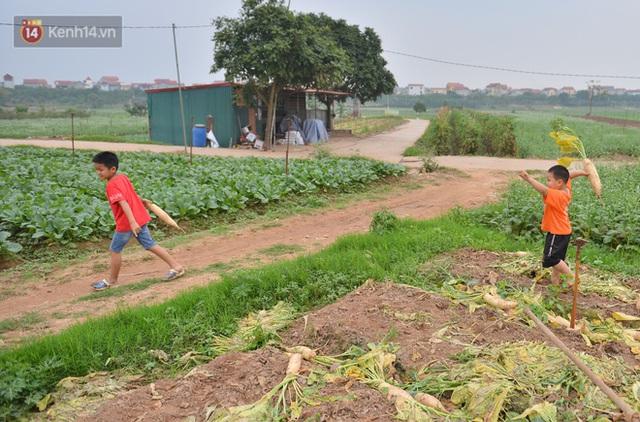 Ảnh: Nông dân Mê Linh nuốt nước mắt, nhổ bỏ hàng trăm tấn củ cải vì không tiêu thụ được - Ảnh 14.