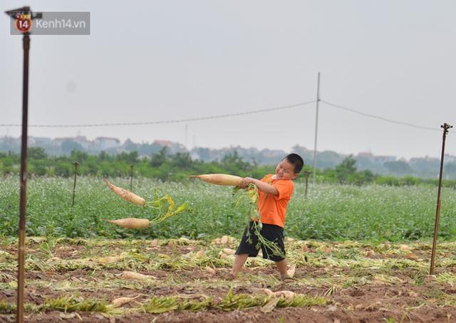 Ảnh: Nông dân Mê Linh nuốt nước mắt, nhổ bỏ hàng trăm tấn củ cải vì không tiêu thụ được - Ảnh 15.
